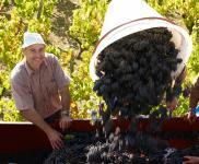 La vendange est soigneusement triée avant d'être acheminée au chai de vinification.