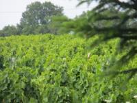 AOUT est arrivé ! Dans le vignoble du Domaine DANIEL VOLUET, les grappes de Gamay nous offrent une mosaïque de couleurs lumineuses..... une promesse ... après l'espérance !