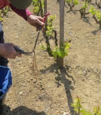 à Juliénas, Au Domaine Daniel Voluet, que se passe-t-il dans le vignoble à présent ?