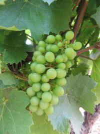 Notre vignoble de Juliénas resplendissant sous l'anticyclone ! Juliénas s'est paré d'un feuillage au vert lumineux, nourrissant de belles grappes qui deviendront le Juliénas de demain. Une belle promesse pour le futur millésime !