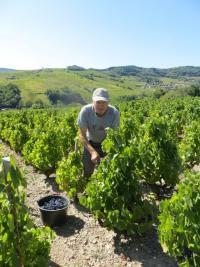 Vendangeurs, Vendangeuses, aiguisez vos serpettes, et hâtez-vous à cueillir le raisin de JULIENAS !