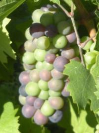 Côté Vigne à JULIENAS : nos grappes de raisin ..... Vous les avez connues en