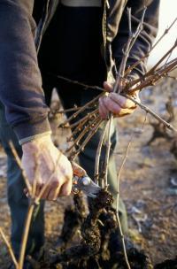 L'hiver s'installe.... la vigne qui a laissé tomber sa parure pourpre et dorée va maintenant se reposer, tandis que les vignerons continuent inlassablement d'intervenir dans les caves et sur le terrain.