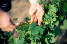 Lier la vigne est une étape de travail du vigneron  qui consiste à relever et assembler les pousses devenues hautes,<br> permettant ainsi une meilleure aération autour du cep de vigne, favorable pour l'état sanitaire, et la  maturité des grappes.