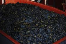 Vendange extra mûre des Vignes de Juliénas