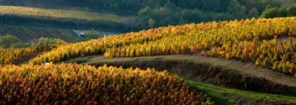 Le vignoble de Juliénas sous les ors de l'automne